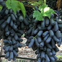 Саджанці винограду АВАТАР ранньо-середнього терміну дозрівання, фото 1