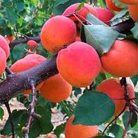 Саджанці абрикоса АДРІАНА середнього терміну дозрівання (дворічний)