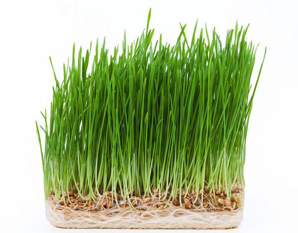 Пшеница семена микрогрин экосемена microgreens seeds non gmo certified Вес 1 кг