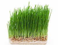 Пшеница семена микрогрин экосемена microgreens seeds non gmo certified Вес 1 кг, фото 1