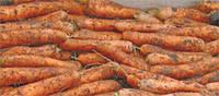 Морковь Чемпіон F1 100 000 сем. Сингента (Syngenta)