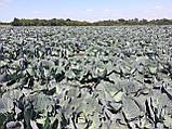 Семена капусты Агрессор F1, 2500 семян, фото 7