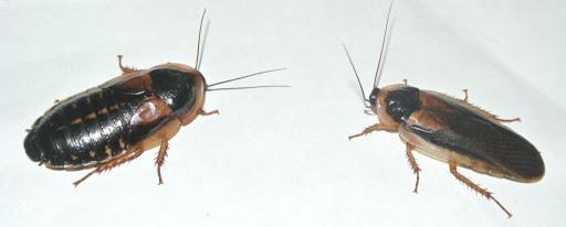 Сублимированный аргентинский таракан