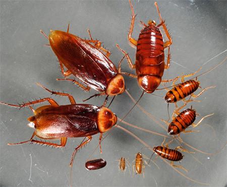 Сублимированный американский таракан