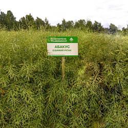 Абакус Семена озимого рапса  «Лембке» (Lembke)