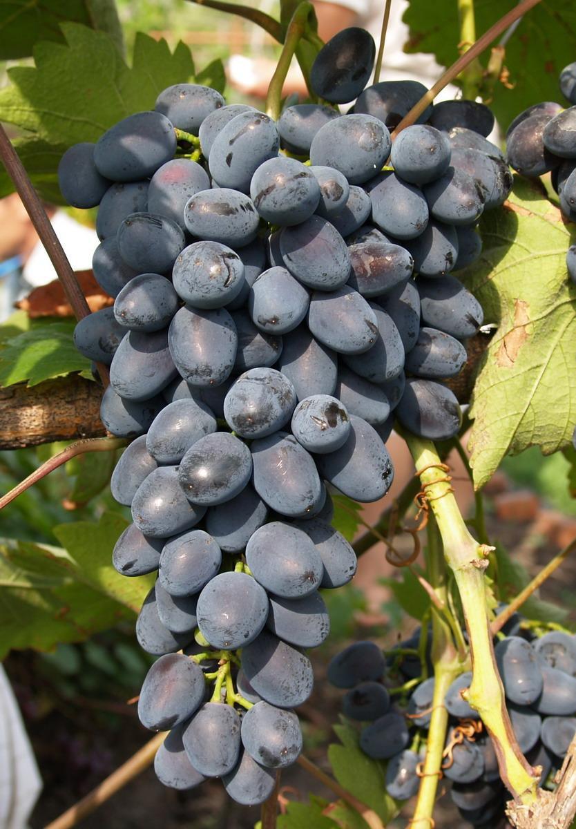 Саженцы винограда Надия Азос