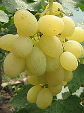 Саженцы винограда Восторг Идеальный