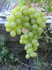 Саженцы винограда Інга