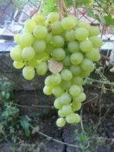 Саджанці винограду Інга