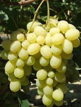 Саженцы винограда Лора