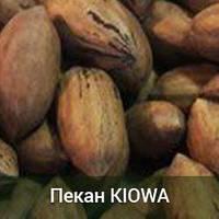 Саженцы ореха Пекан Kiowa 3-х летний