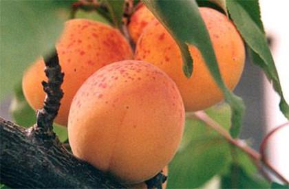 Саженці абрикоса Червонощокий