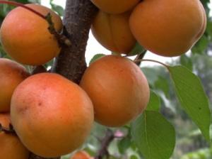 Саженцы абрикоса Поліський