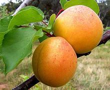 Саджанці абрикоса Київський красень