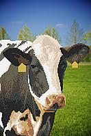 Корова. Схема вишивки бісером