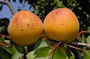 Саженцы абрикоса Харлайн