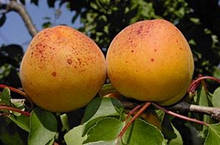Саджанці абрикоса Харлайн