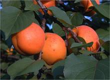 Саджанці абрикоса Харостар