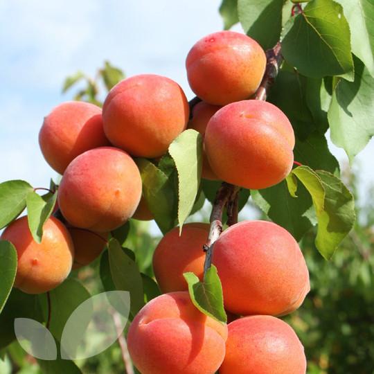 Саженцы абрикоса Томкот