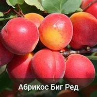 Саженцы абрикоса Биг Ред (двухлетний )