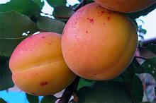 Саджанці абрикоса Сирена