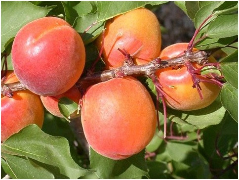 Саженцы абрикоса Ерли Ред Оранж