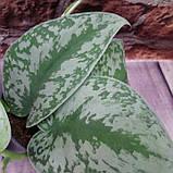 Горшечное растение Сциндапсус (Scindapsus pictus), фото 2