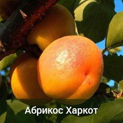 Саженцы абрикоса Харкот (двухлетний)