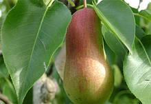 Саджанці груші Талгарская красуня
