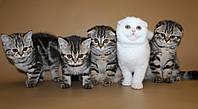 Шотландские котята. Продажа.