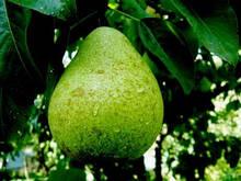 Саджанці груші Великоплідна