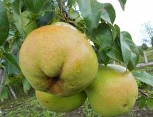 Саджанці груші Кучерянка