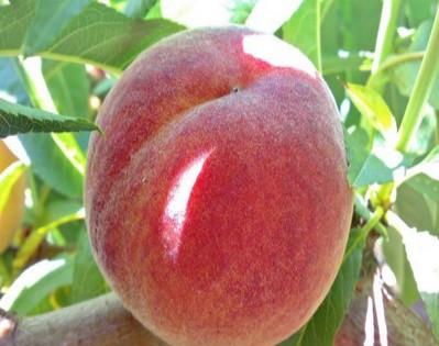 Саженцы персика Адриатика