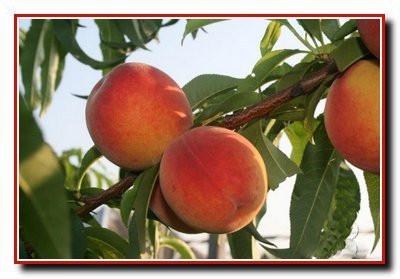 Саджанці персика Онтаріо