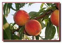 Саженцы персика Онтарио