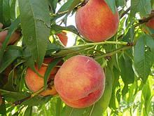 Саджанці персика Харроу Бьюті