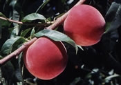 Саженцы персика Парацельс