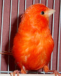 Кенар червоний співаючий, фото 2