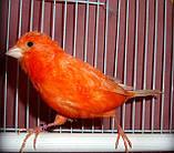 Кенар червоний співаючий, фото 3
