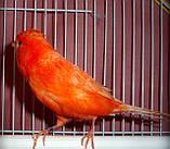 Кенар червоний співаючий, фото 4