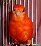 Кенар червоний співаючий, фото 5