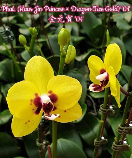 Орхидея фаленопсис. Сорт Phal. (Haur Jin Princess × Dragon Tree Gold) '01' , размер 2.5 без цветов