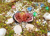 Набор черенков инжира № 9, фото 1