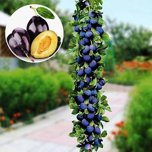 Саженцы Алычи колоновидной Синяя - среднего срока, крупноплодная, урожайная