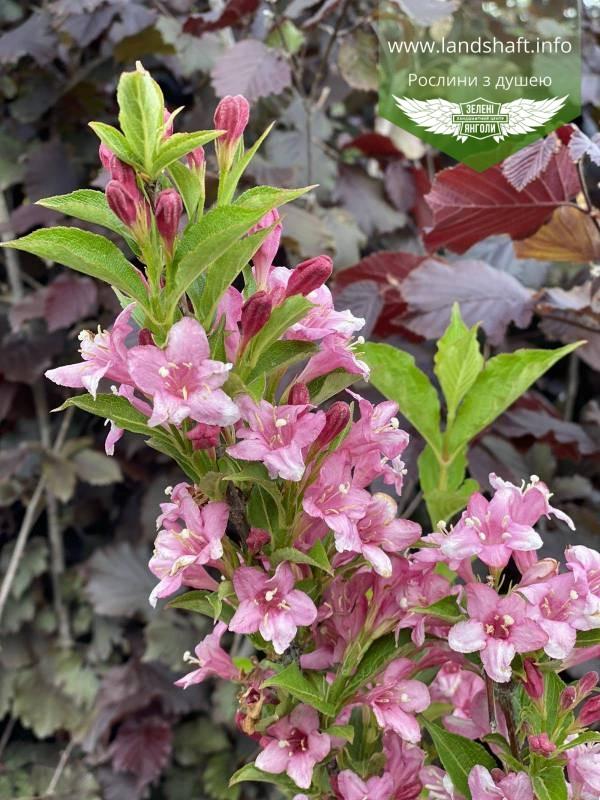Weigela praecox 'Bouquet Rose', Вейгела рання 'Букет Роз',80-100см,C5-C7 - горщик 5-7л