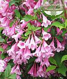 Weigela praecox 'Bouquet Rose', Вейгела рання 'Букет Роз',80-100см,C5-C7 - горщик 5-7л, фото 3