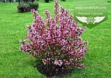 Weigela praecox 'Bouquet Rose', Вейгела рання 'Букет Роз',80-100см,C5-C7 - горщик 5-7л, фото 4