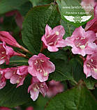 Weigela praecox 'Bouquet Rose', Вейгела рання 'Букет Роз',80-100см,C5-C7 - горщик 5-7л, фото 5