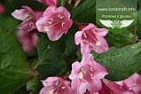 Weigela praecox 'Bouquet Rose', Вейгела рання 'Букет Роз',80-100см,C5-C7 - горщик 5-7л, фото 6