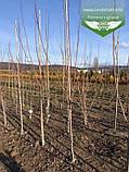 Acer rubrum 'Burgundy Belle', Клен червоний 'Бургунді Бель',Кореневий кому/сітка,250-300см,TG4-6, фото 6